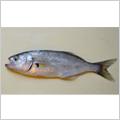 HSIミネラル活用法ー魚